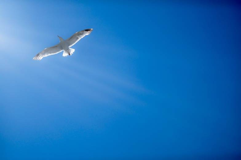 flying seagull sunray