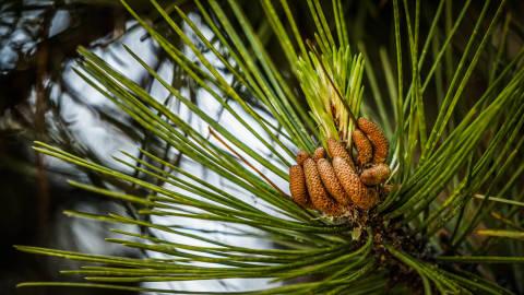 pine cones nature hands
