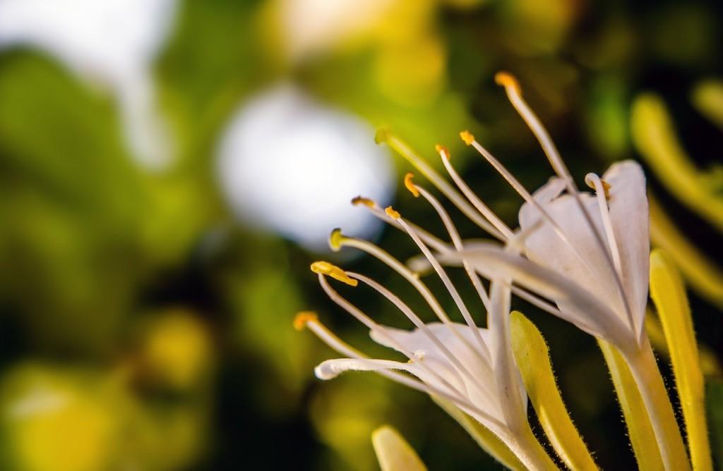 honeysuckle flower