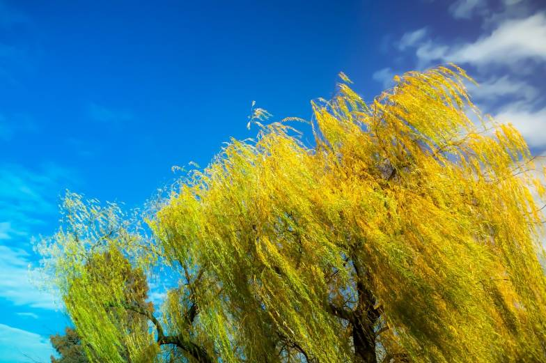 autumn willow tree