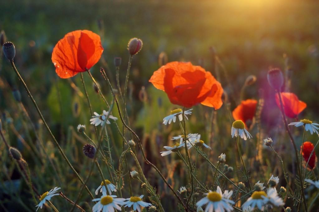 poppies daisies field summer